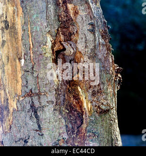 Eurasian Wryneck (Jynx torquilla) near the nest in a hole of tree - Stock Photo