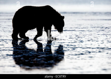 Female Coastal Brown Bear searches for clams on the beach at twilight on a long Alaskan summer night in Lake Clark - Stock Photo