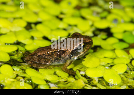 Common Frog (Rana temporaria) froglet, on Duckweed (Lemna sp.) in a garden pond. Seaford, Sussex, England. July. - Stock Photo