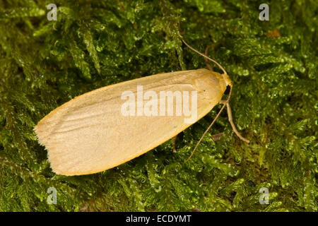 Dingy Footman (Eilema griseola) adult moth resting on moss. Powys, Wales. July. - Stock Photo