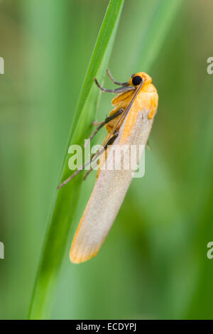 Buff Footman (Eilema depressa) adult moth resting amongst grasses. Powys, Wales. July. - Stock Photo