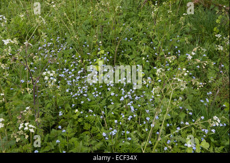 Field forget-me-not, Myosotis arvensis flowering with umbellifers and other plants on roadside margin, Bershire, - Stock Photo
