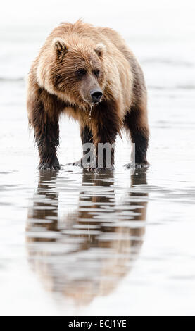 Female brown bear standing in tidal pools, looking for clams, on the beach at Lake Clark National Park - Stock Photo