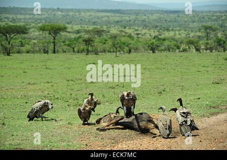 Kenya, Masai Mara National Reserve, vulture over a killed wildebeest (Connochaetes taurinus) - Stock Photo