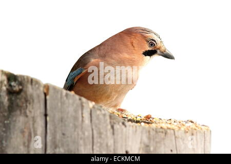 isolated eurasian jay ( Garrulus glandarius ) standing on a stump - Stock Photo