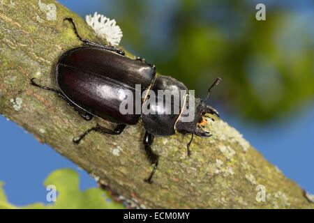 European stag beetle, stag-beetle, female, Hirschkäfer, Weibchen, Lucanus cervus, Schröter, Lucanidae, Stag beetles - Stock Photo