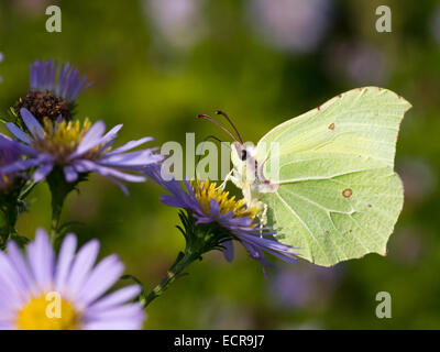 The Brimstone Butterfly (Gonepteryx rhamni) feeding From A Flower - Stock Photo