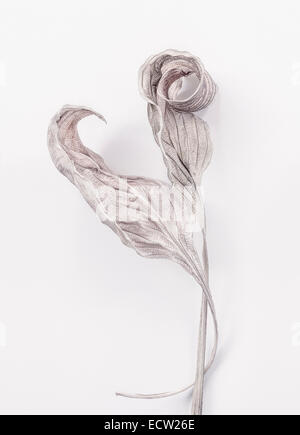 Two dry Hosta Leaves - Stock Photo