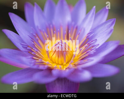 Water lily, Nymphaeaceae, water lilies, flower - Stock Photo