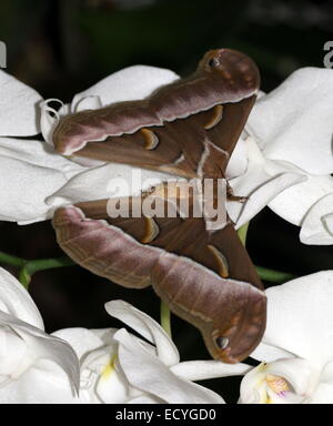Close-up of a Giant Asian Silanthus Silkmoth or  Eri silkmoth ( Samia cynthia) on a tropical white orchid flower - Stock Photo