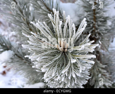 Winter scene - frost on pine tree . - Stock Photo