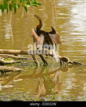 Australasian snake-necked darter, Anhinga novaehollandiae, on log, drying outstretching wings & reflected in calm - Stock Photo