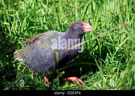 Takahe flightless bird indigenous to New Zealand - Stock Photo