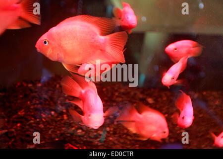 Goldfish (Carassius auratus). veiltails in an aquarium. - Stock Photo
