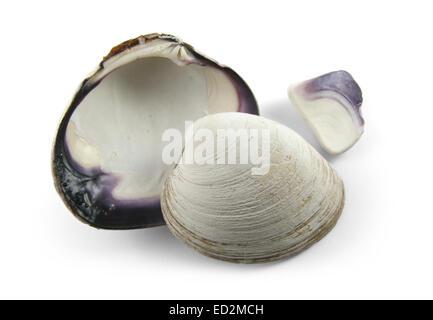 Purple quahog clam shell. - Stock Photo