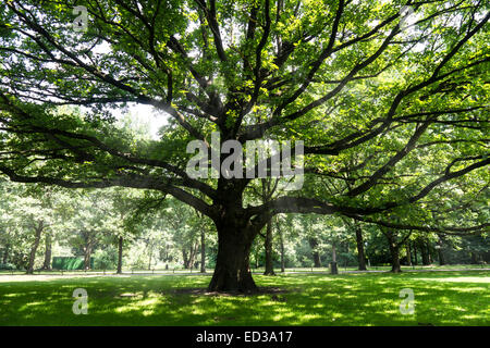 old tree and sumbeams in berlin tiergarten in summer - Stock Photo