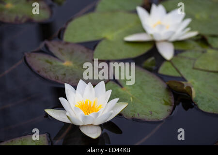 Two blossoming water lilies in the water - Stock Photo