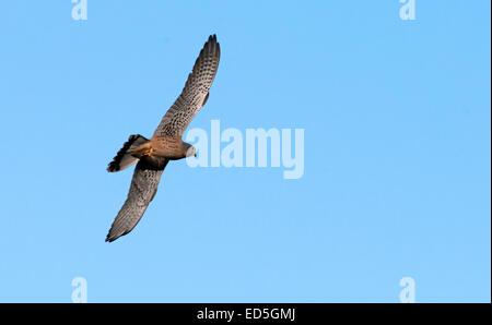 Male Kestrel, Falco-tinnunculus in flight. Uk - Stock Photo
