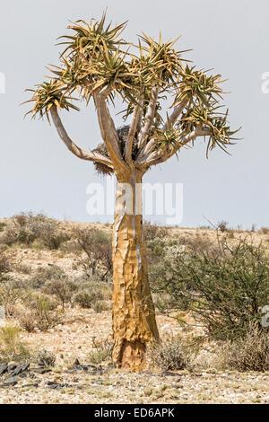 Quiver tree, Aloidendron dichotomum formerly Aloe Dichotoma, aka kokerboom, Augrabies Falls National Park, Namaqualand, - Stock Photo
