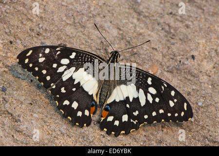 Common Lime Butterfly (Papilio demoleus), captive, Emsland, Lower Saxony, Germany - Stock Photo