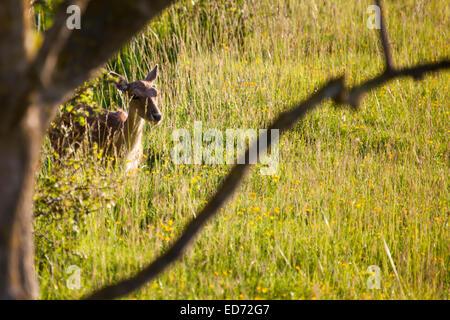 fallow-deer hidden at grass - Stock Photo