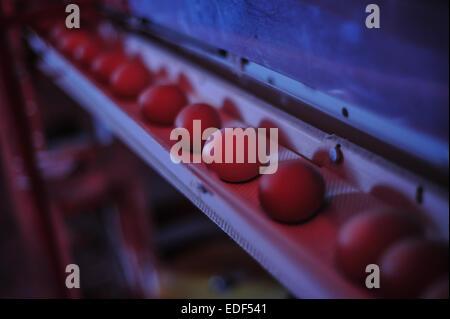 Farm eggs on a conveyor belt - Stock Photo