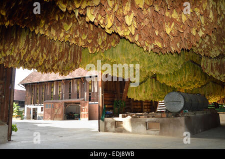 Inside a barn with drying tobacco leaves on timbered farm in the Alsace, France - Stock Photo