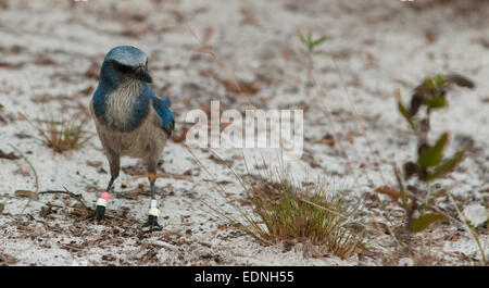 Close up of a Florida scrub jay foraging for food - Aphelocoma coerulescens - Stock Photo