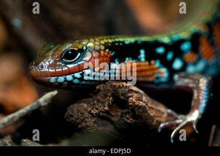 Fire skink - Stock Photo