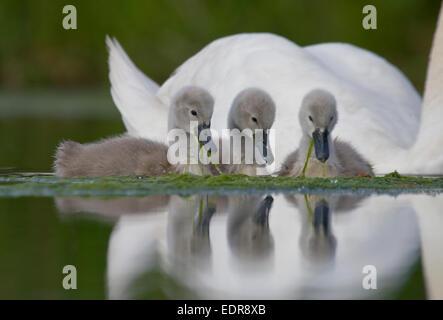 Mute Swan.Cygnus olor.Pair of cygnets with single adult.Bristol,UK. - Stock Photo