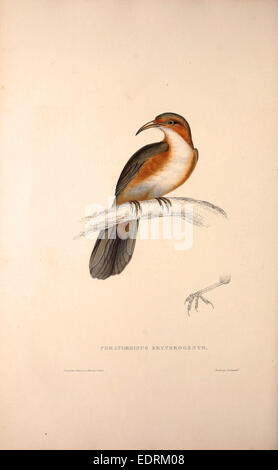 Pomatorhinus Erythrogenys, Rusty-cheeked Scimitar Babbler. a species of bird in the Timaliidae family. It is found - Stock Photo