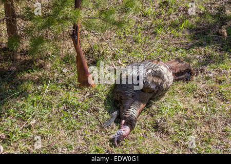 An Eastern wild turkey that was harvested with a flintlock shotgun. - Stock Photo