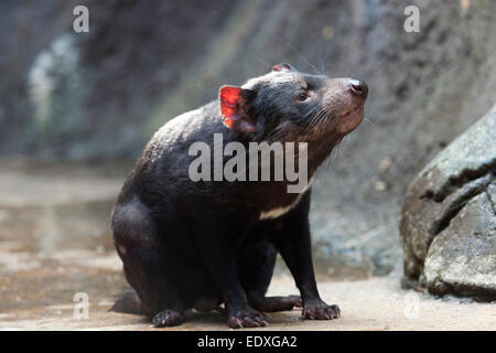 Tasmanian devil in the Australian Zoo, Beerwah,Australia - Stock Photo