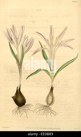 Botanical Print by Walter Hood  Fitch 1817 – 1892, W.H. Fitch  was an botanical illustrator and  artist, born in - Stock Photo