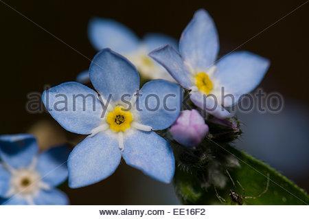 Broadleaf forget-me-not (Myosotis latifolia). Cumbre Vieja Natural Park. La Palma. Canary Islands. Spain. - Stock Photo