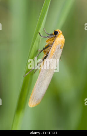 Buff Footman (Katha depressa) adult, resting on grass, Powys, Wales, July - Stock Photo