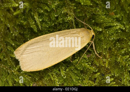 Dingy Footman (Collita griseola) adult, resting on moss, Powys, Wales, July - Stock Photo