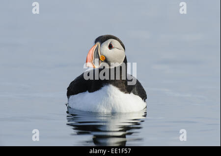 Atlantic Puffin (Fratercula arctica) adult, breeding plumage, swimming at sea, Flatey Island, Iceland, July - Stock Photo