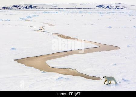 Adult polar bear (Ursus maritimus) on first year sea ice in Olga Strait, near Edgeoya, Svalbard, Arctic, Norway, - Stock Photo