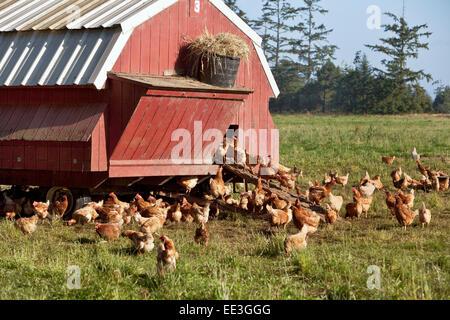 Free Range chickens, portable housing, free range,  'Gallus domesticus'. - Stock Photo