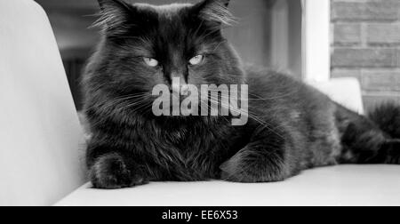 Black cat giving an evil look whilst relaxing on a chair - Stock Photo
