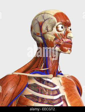 Side view showing human bones with muscles and circulatory system. - Stock Photo