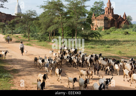 Villager herding goats near Min Nan Thu, Bagan, Myanmar. Pagodas visible in background - Stock Photo