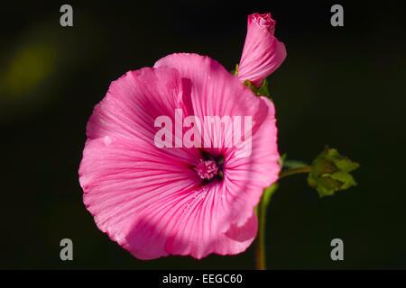 Blüte einer Rosa Becher-Malve (Lavatera trimestris), Flower of a Rosa Mallow (Lavatera trimestris), above, bloom, - Stock Photo
