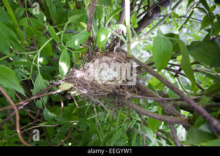 Acanthis cannabina. The nest of the Linnet in nature. - Stock Photo
