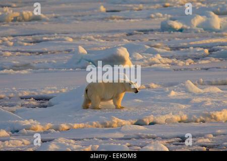 Polar bear (Ursus maritimus / Thalarctos maritimus) walking on pack ice at sunset, Svalbard, Norway - Stock Photo
