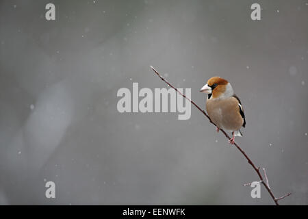 Hawfinch, Coccothraustes coccothraustes, perched on thin branch in snow - Stock Photo
