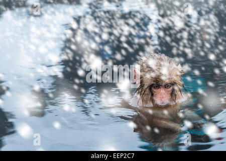 A baby snow monkey soaks in the onsen at the Jigokudani monkey park in Nagano Prefecture, Japan. - Stock Photo