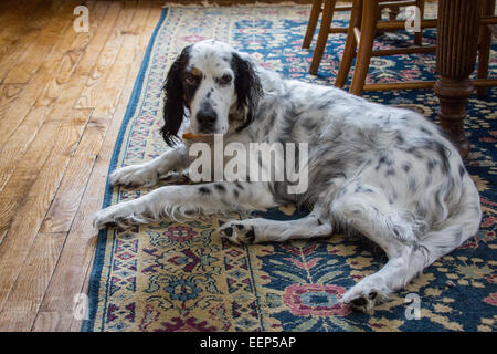 A male English setter lays on a woven rug. - Stock Photo