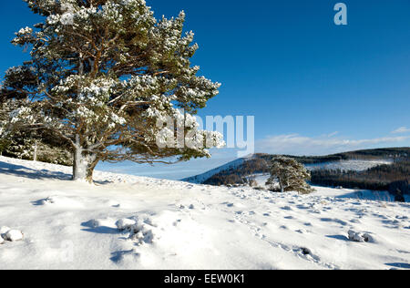 Snow covered scots pine and scenery in a remote scottish glen - Stock Photo